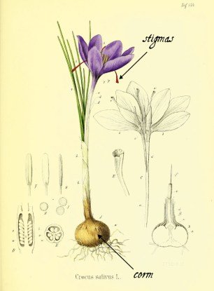 Botanical drawing of crocus sativus (saffron) with its most important parts