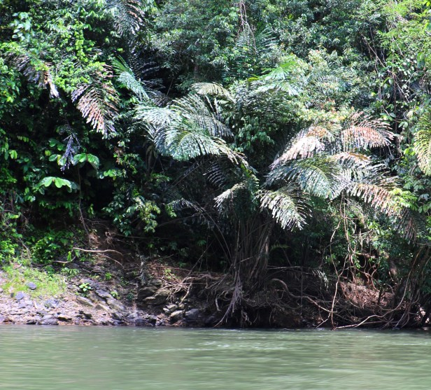 Arenga Temburong3P7A0429.JPG