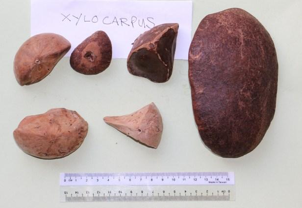 Xylocarpus granatum 3P7A8742.JPG