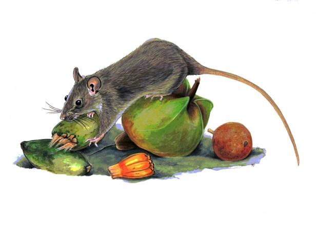 040 KPm Black Rat & drift seeds 300dpi.jpg