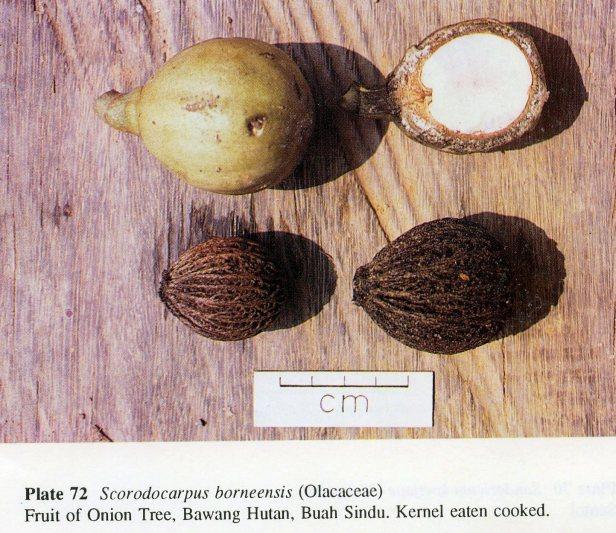 124a.Scorodocarpus borneensis.jpg