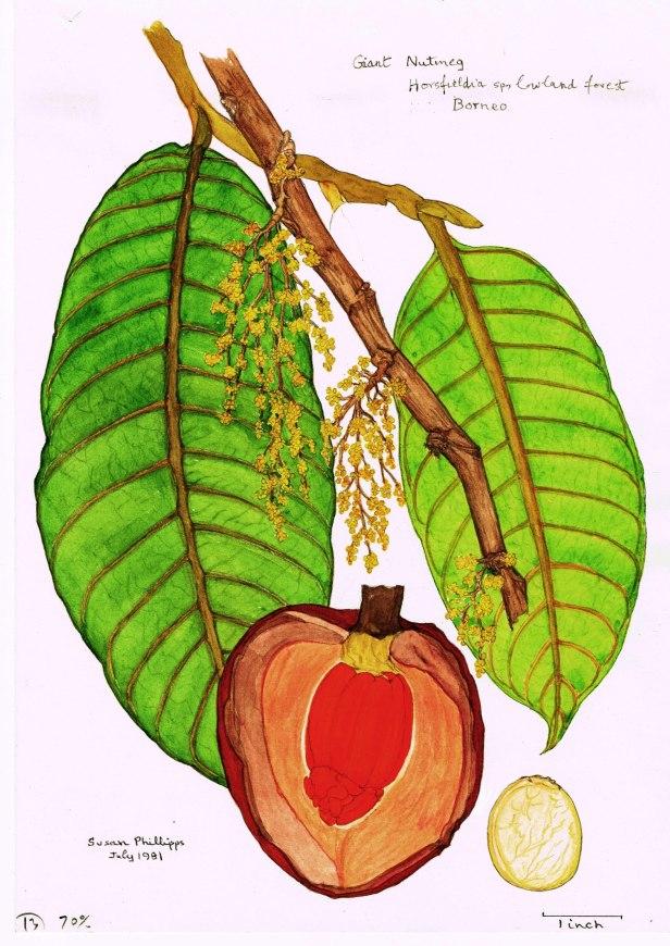 19 Horsfieldia Giant Nutmeg 600 dpi