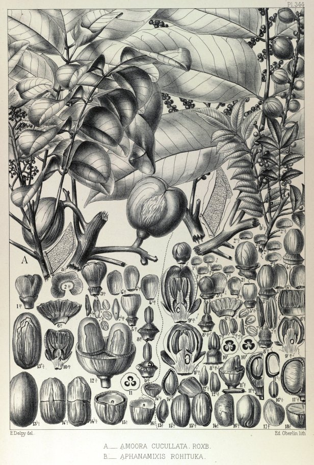 Aglaia cucullata Pierre L  (180-1907) Forest plants of Indochina 148360.jpg