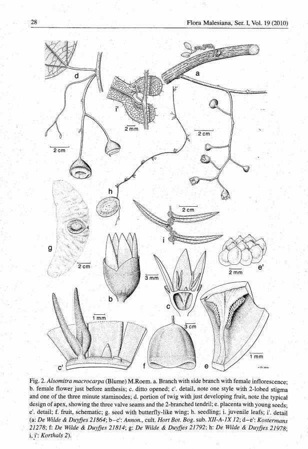 Alsomitra macrocarpa illust02.jpg