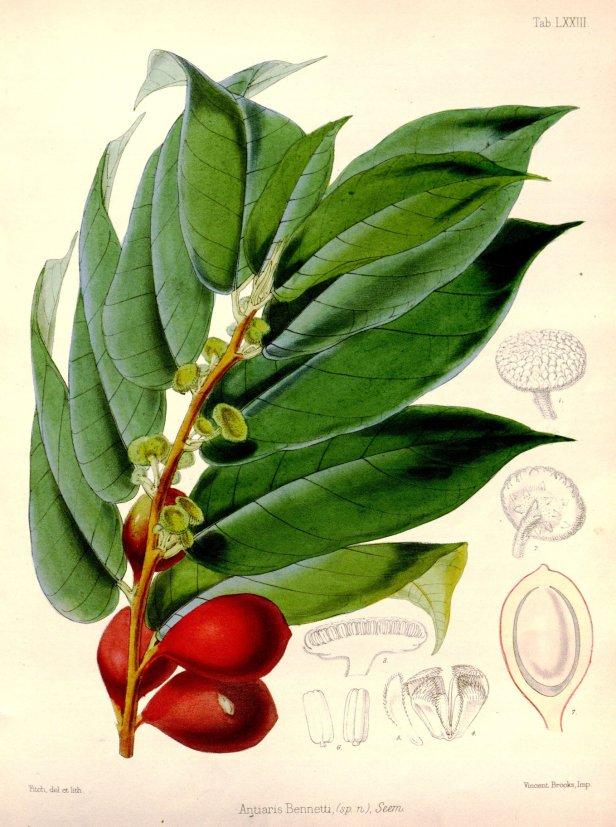 Antiaris toxicaria Borneo  Flora Vitiensis WH Fitch (1873)  36562.jpg