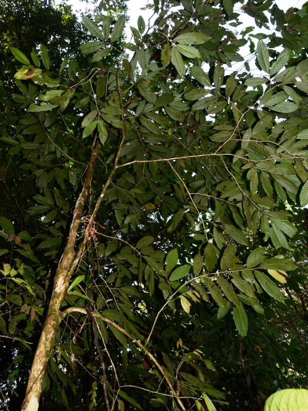 Antidesma Borneo  Mafe DSC_3453.jpg