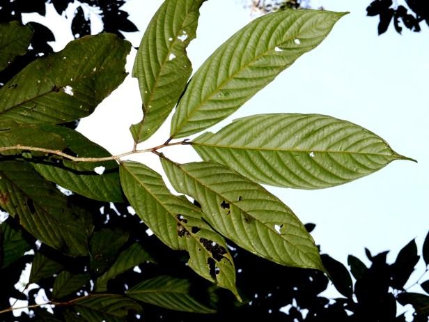 Antidesma Borneo  Mafe Indeterminada_sp.19_DSC_3471.JPG