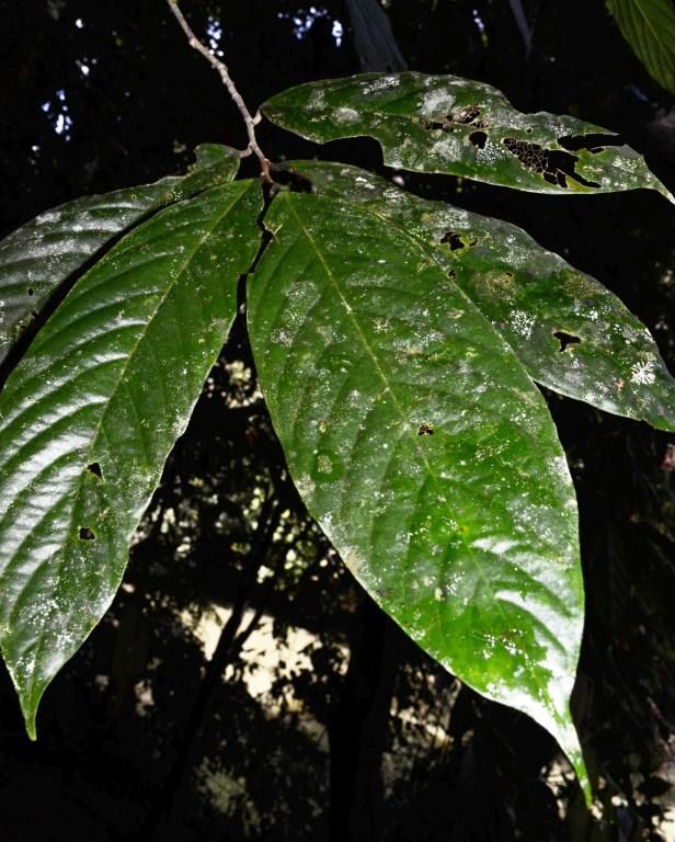 Antidesma Borneo  Mafe Indeterminada_sp.19_DSC_3474.jpg