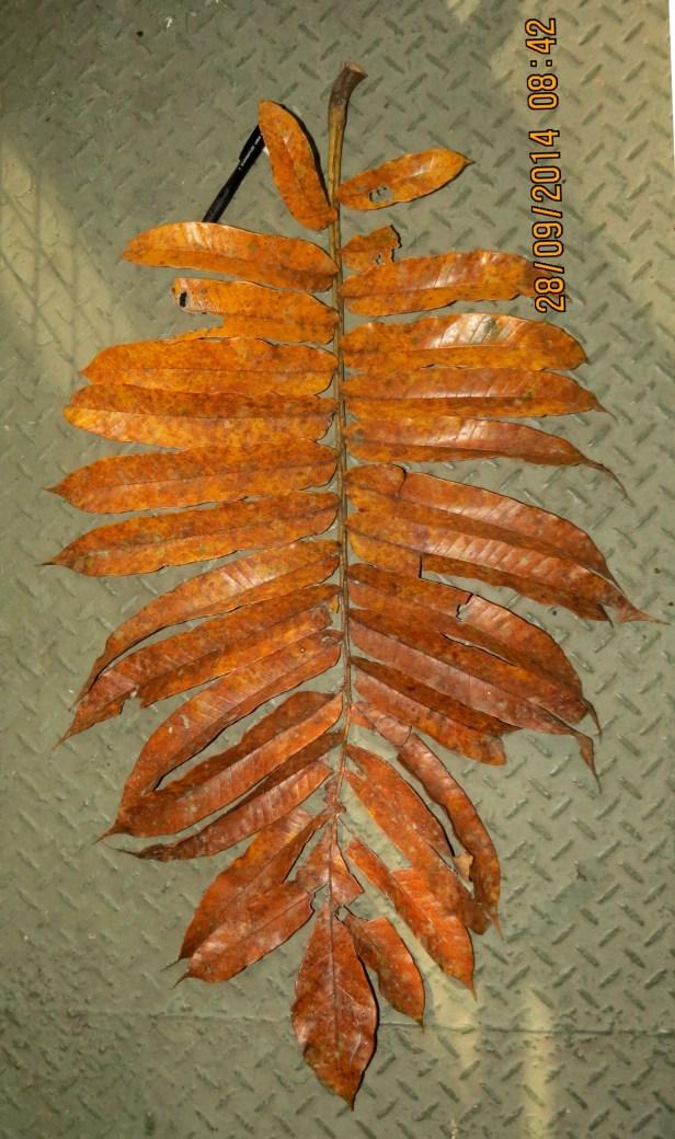 Artocarpus anisophyllus IMG_0095.JPG