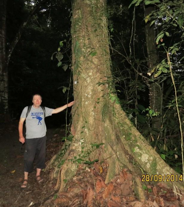 Artocarpus tamaran Borneo IMG_0020.JPG