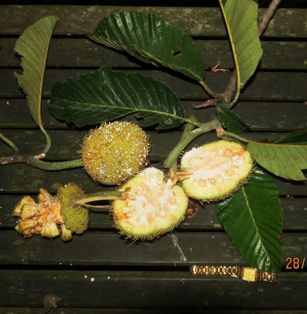 Artocarpus tamaran IMG_0023.JPG