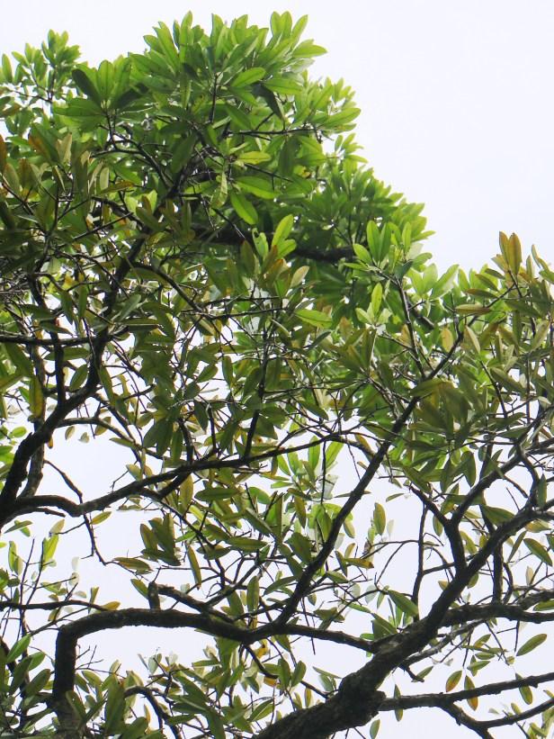 Bunut Callophyllum macrocarpum 02 IMG_2514.JPG