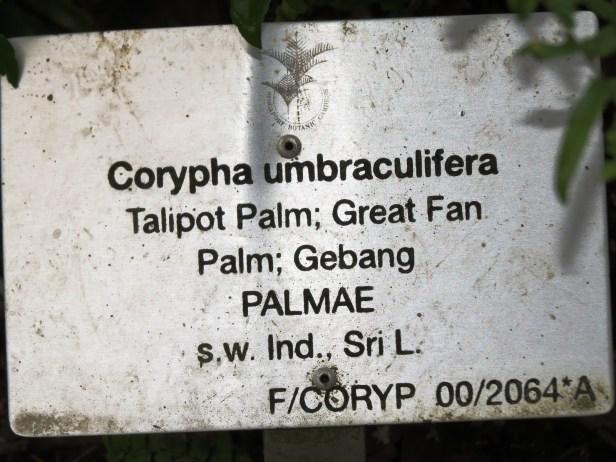 Corypha umbraculifera IMG_0852.JPG