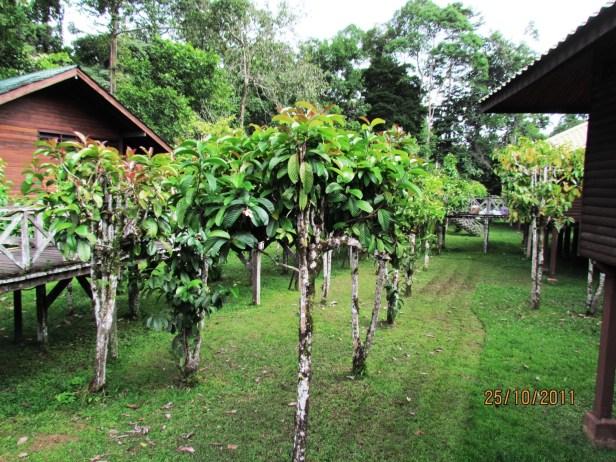 Dillenia excelsa Borneo IMG_6148
