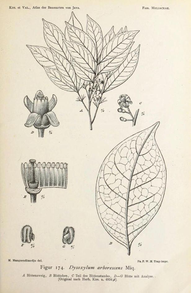 Dysoxylum arborescens 276592.jpg