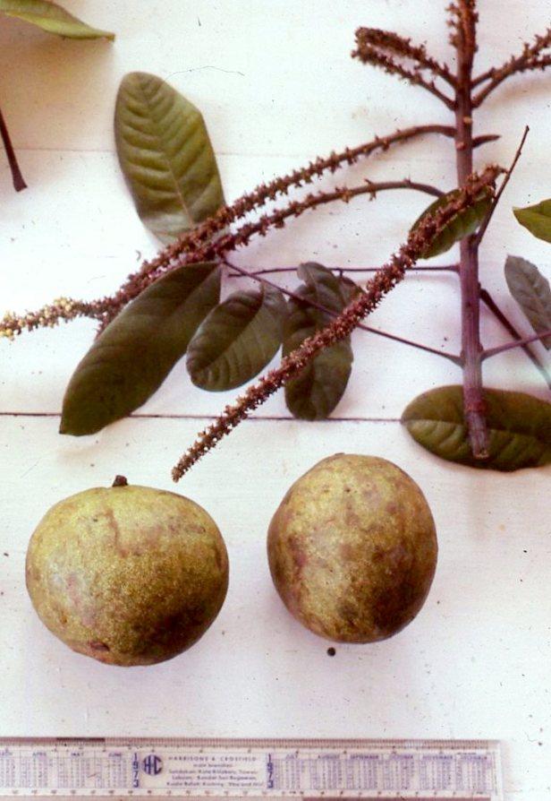 Glennia philippinrnsis  01 - .jpg