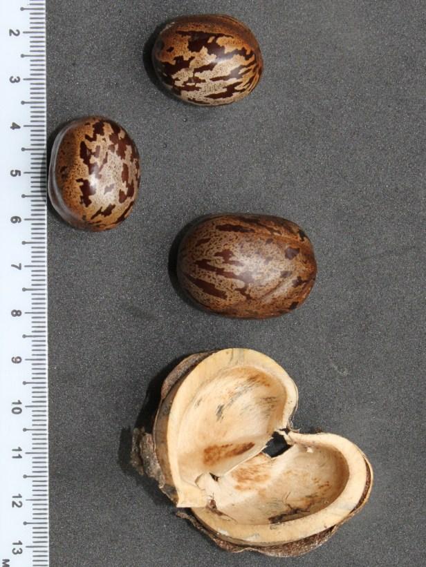 Hevea brasiliensis Rubber seed IMG_1814.JPG