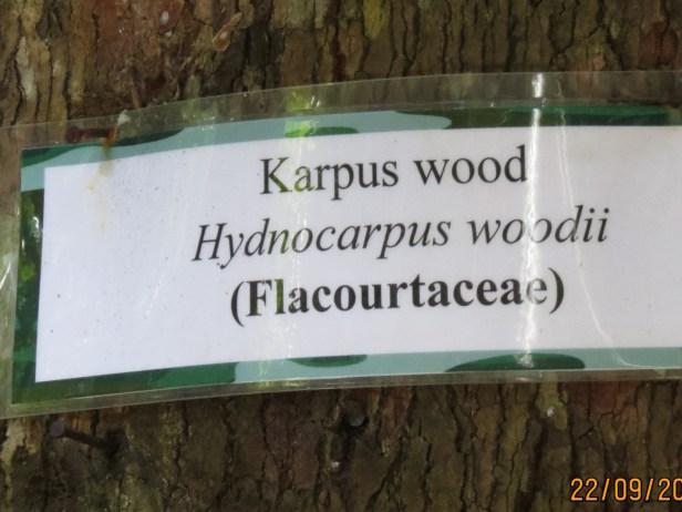 Hydnocarpus woodii IMG_0091.JPG