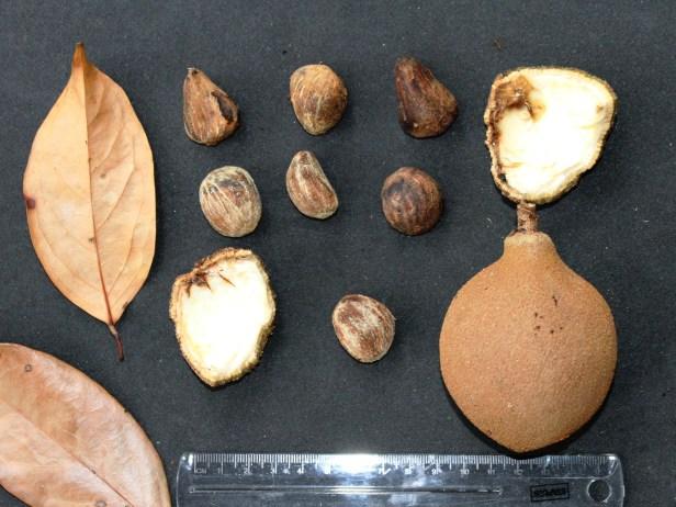 Hydnocarpus woodii IMG_1230.JPG