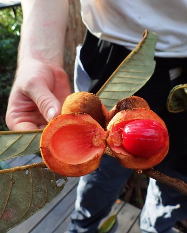 KNB 2 Kinabatangan Wild Nutmeg anthea .JPG