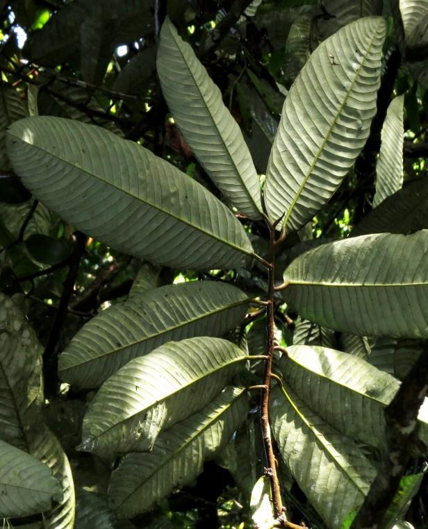 Knema  leaves glaucus IMG_4270.JPG