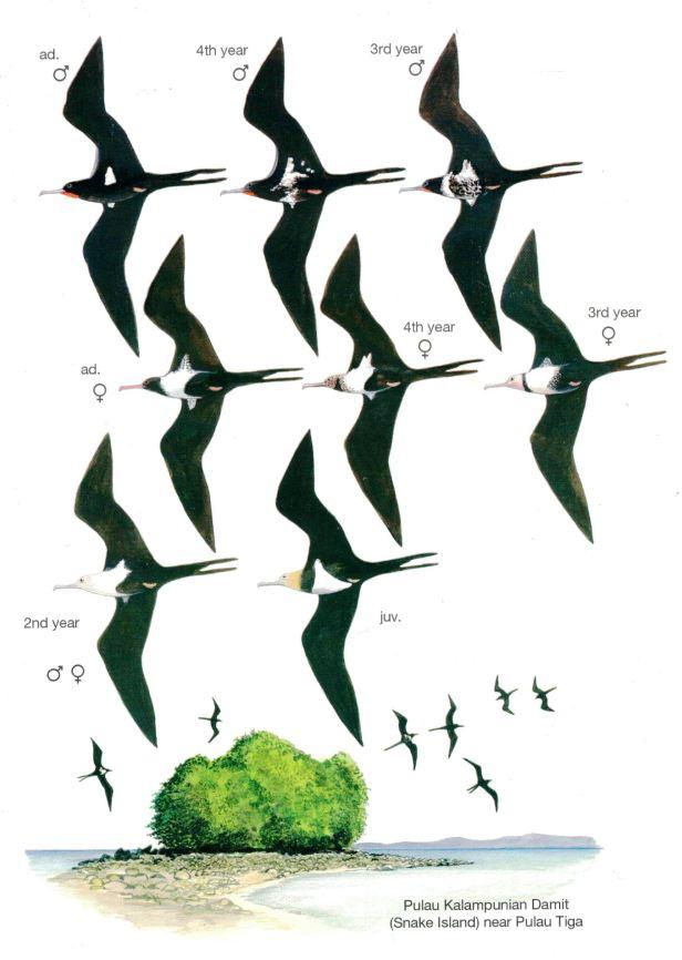 Lesser Frigate Birds.jpg