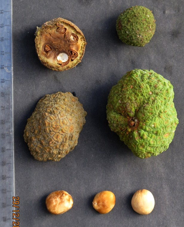 Parartocarpus venenosus BorneoIMG_7068.JPG