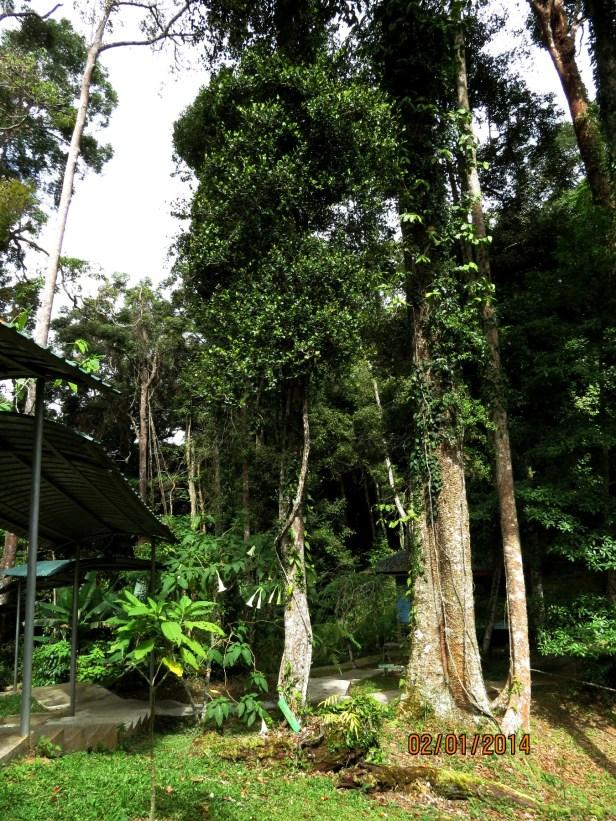 Parartocarpus venenosus BorneoIMG_7407.JPG