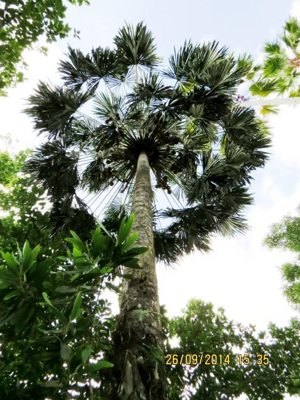 Pholidocarpus majadum IMG_0241.JPG