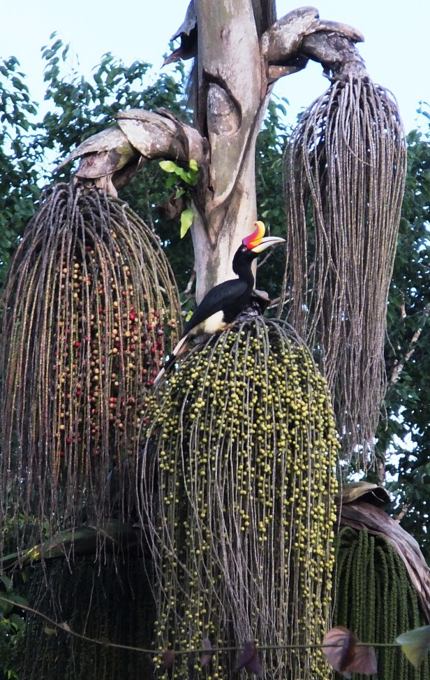 Rhino Hornbill on Caryota No Tabin Anthea