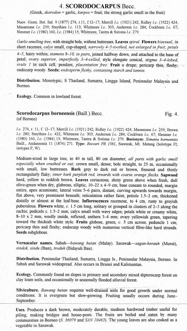 Scorodocarpus borneensis 001.jpg