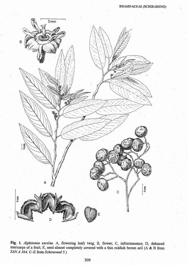 TFSS Vol 1 Illust. Alphitonia.jpg