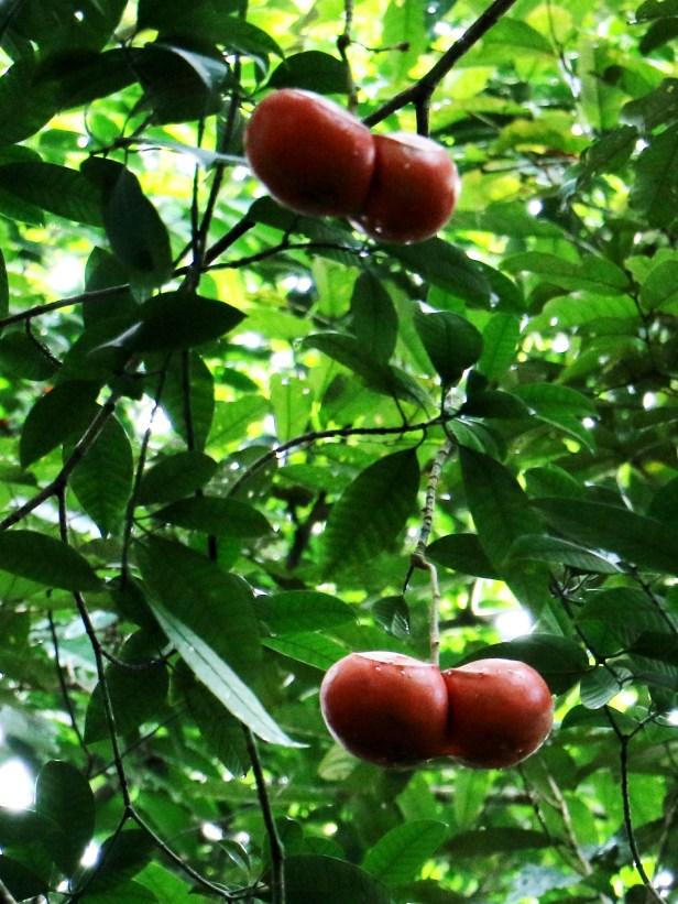 Tabernaemontana macrocarpa 3P7A8616