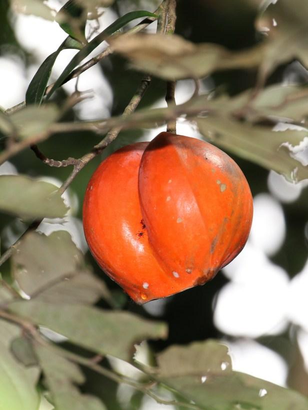 Tabernaemontana macrocarpa3P7A8747