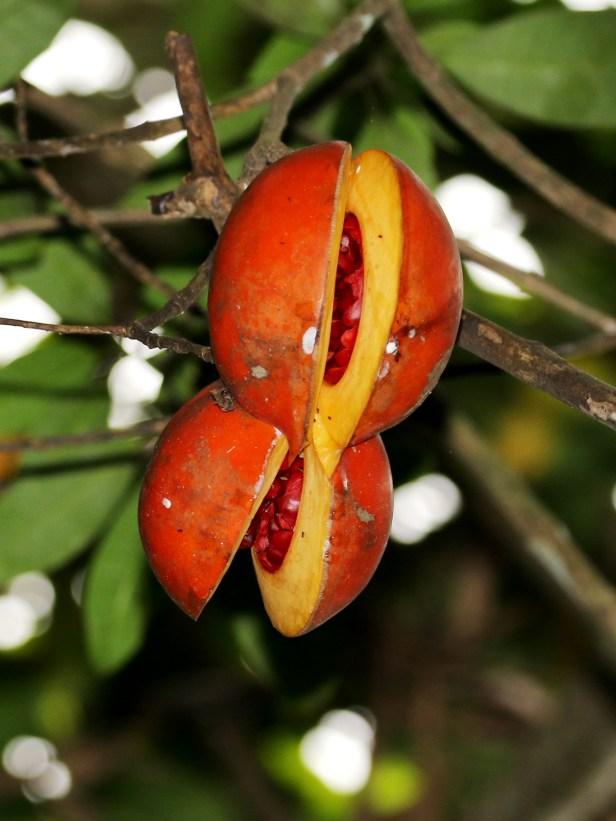 Tabernaemontana macrocarpa6.JPG