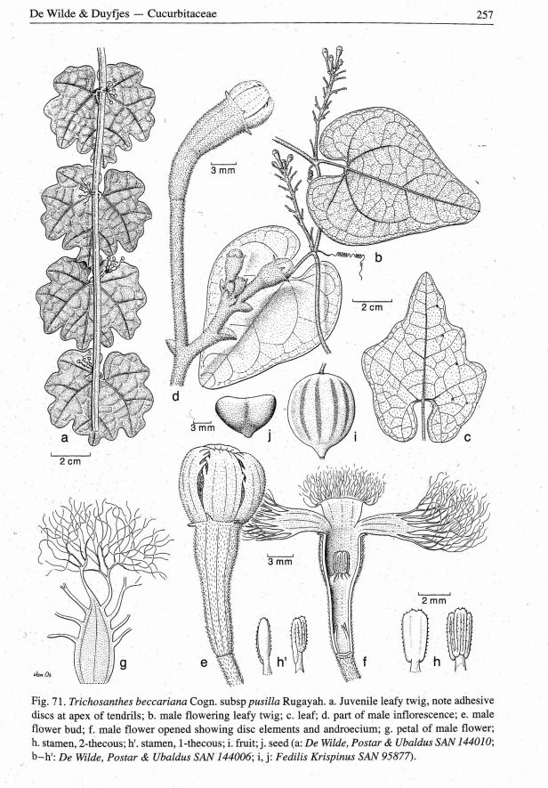 Tricosanthes beccariana Borneo 0001.jpg