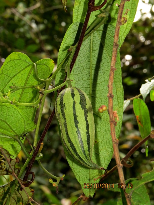 Tricosanthes beccariana IMG_0037.JPG