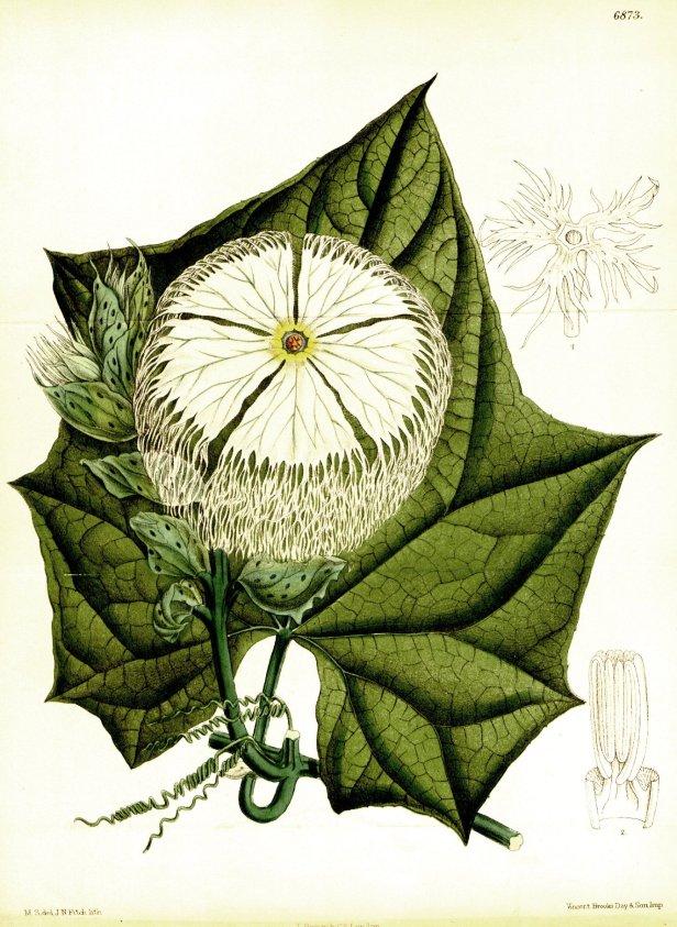 Tricosanthes tricuspidata Curtis's Botanical Magazine (1886).jpg