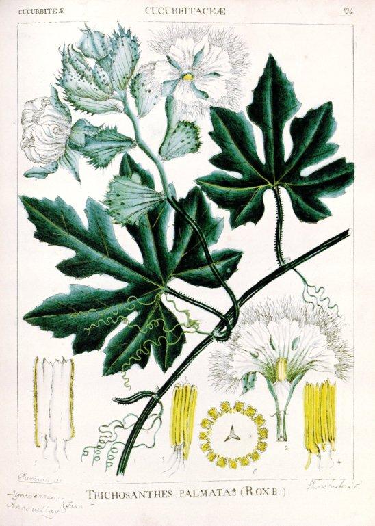 Wright (1851) Tricosanthes tricuspidata 5