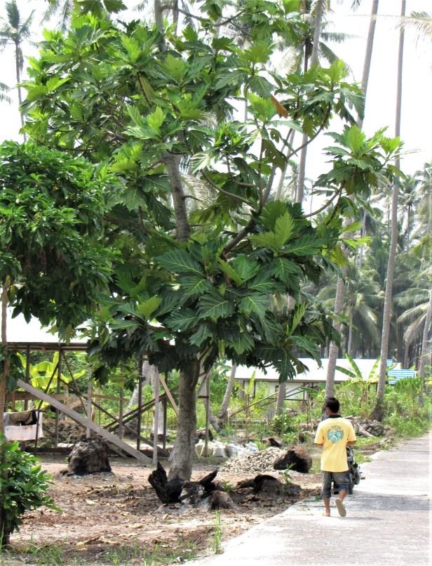 03 Maratua breadfruit IMG_5071