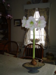 Amaryllis tall and proud