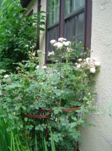 David Austin 'Heritage' roses