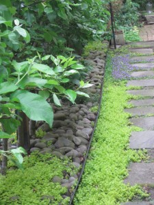 Creeping Jenny and mazus compete to take over the path.
