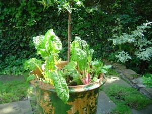 Swiss chard. Even a pot can be a vegetable garden.
