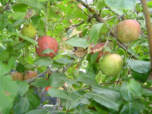 Apples for the picking