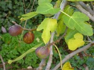 Figs awaiting!
