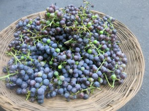 Concord grape harvest