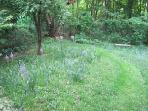 My meadow in May. Camassias abound.