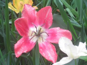 Is that a spider in the tulip?