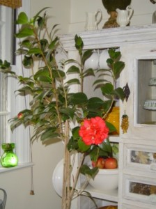 Camillia - another winter bloomer